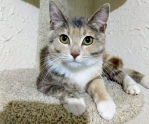 [picture of Lupia, a Domestic Short Hair calico cat]