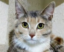 [picture of Lupia, a Domestic Short Hair calico\ cat]