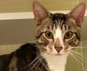 A picture of #ET02380: Jaspa a Domestic Short Hair brown tabby/white