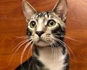 A picture of #ET02381: Guppy a Domestic Short Hair brown tabby