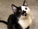 A picture of #ET02382: Masquerade a Domestic Short Hair black/white