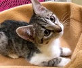 A picture of #ET02383: Lace a Domestic Short Hair silver tabby