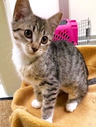 [picture of Lace, a Domestic Short Hair silver tabby cat]