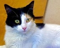 A picture of #ET02384: Selina a Domestic Long Hair calico