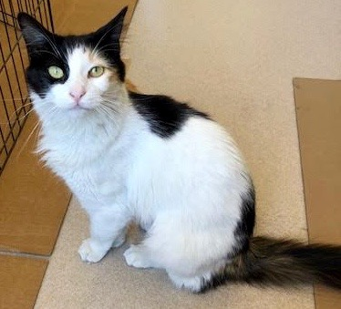 [picture of Selina, a Domestic Long Hair calico cat]