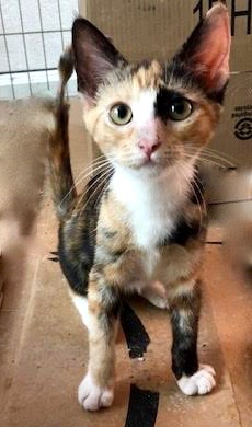[another picture of Darma, a Domestic Short Hair calico\ cat]