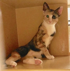[picture of Darma, a Domestic Short Hair calico cat]