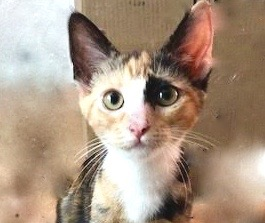 [picture of Darma, a Domestic Short Hair calico\ cat]