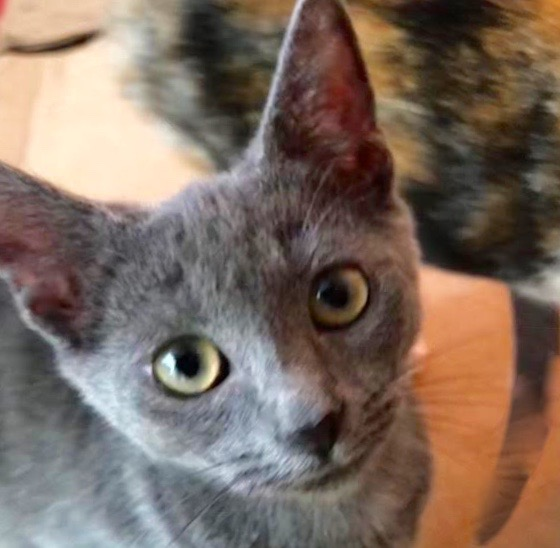[picture of Azula, a Russian Blue Mix blue\ cat]