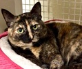 A picture of #ET02390: Xocha a Domestic Short Hair tortie