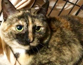 [picture of Xocha, a Domestic Short Hair tortie cat]