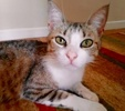A picture of #ET02391: Keekee a Domestic Short Hair white/brown tabby