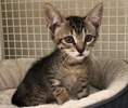 A picture of #ET02392: Biscuit a Domestic Short Hair gray tabby