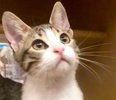 A picture of #ET02393: Ramen a Domestic Short Hair brown tabby/white