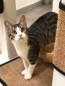 [another picture of Ramen, a Domestic Short Hair brown tabby/white\ cat]