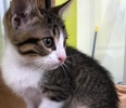 [picture of Ramen, a Domestic Short Hair brown tabby/white cat]
