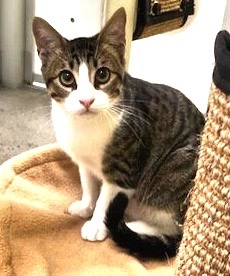 [picture of Ramen, a Domestic Short Hair brown tabby/white\ cat]