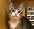 A picture of #ET02394: Udon a Domestic Short Hair gray tabby/white