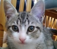 [picture of Udon, a Domestic Short Hair gray tabby/white cat]