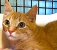 A picture of #ET02396: BooBoo a Domestic Short Hair orange