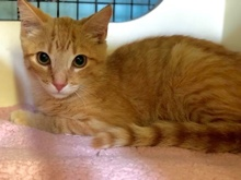[another picture of BooBoo, a Domestic Short Hair orange\ cat]