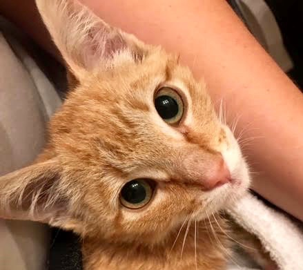 [picture of BooBoo, a Domestic Short Hair orange cat]