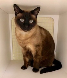 [another picture of Mocha, a Siamese seal point\ cat]