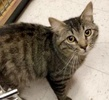 A picture of #ET02399: Roget a Domestic Long Hair gray tabby