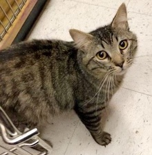 [another picture of Roget, a Domestic Long Hair gray tabby\ cat]