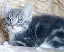 [picture of Little Tiger, a Domestic Short Hair blue tabby\ cat]