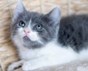 A picture of #ET02403: Julie a Domestic Short Hair blue tabby/white