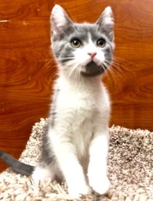 [another picture of Julie, a Domestic Short Hair blue tabby/white\ cat]