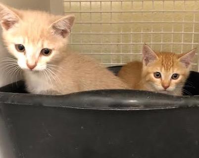 [picture of Orano, a Domestic Short Hair orange cat]