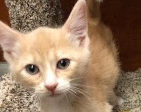 [picture of Orano, a Domestic Short Hair orange\ cat]