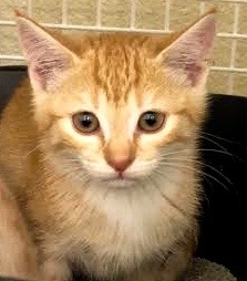 [another picture of Orgino, a Domestic Short Hair orange/white\ cat]