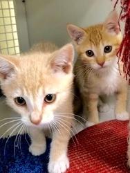 [picture of Orgino, a Domestic Short Hair orange/white cat]