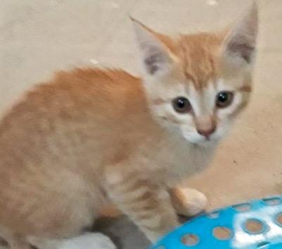 [picture of Orgino, a Domestic Short Hair orange/white\ cat]