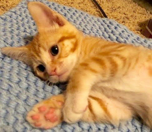 [picture of Yet, a Domestic Short Hair orange/white paws\ cat]