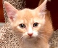 A picture of #ET02409: Yi a Domestic Short Hair orange/white