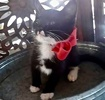 [picture of Sum, a Domestic Short Hair black/white cat]