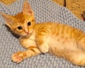 A picture of #ET02411: Say a Domestic Short Hair orange