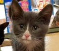 A picture of #ET02412: Umm a Domestic Short Hair blue/white