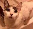 A picture of #ET02413: Rain a Turkish Van Mix dilute calico