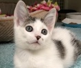A picture of #ET02415: Storm a Oriental Mix white.gray tabby