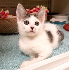 [another picture of Storm, a Turkish Van Mix white/gray tabby\ cat]