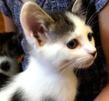 [picture of Storm, a Turkish Van Mix white/gray tabby\ cat]