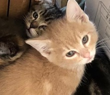 [picture of Bino, a Domestic Short Hair orange\ cat]
