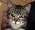 A picture of #ET02420: Beppo a Domestic Short Hair tabby/white