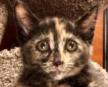[picture of Bucca, a Domestic Short Hair tortie\ cat]