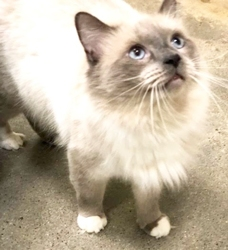 [picture of Willie Nelson, a Siamese Mix blue point/Birman cat]